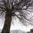 Stock Photo: Only tree in yard of Djvari monastery in Caucasus mounta