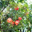 Closeup of fresh pomegranate fruits on a bush branch — Stock Photo