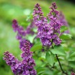 Close up of blooming lilac bush — Stock Photo
