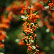 Close up of orange berries and green leaves of a holly bush - Stock Photo