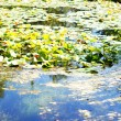 Water lily's bud in the pond among freen leaves — Stock Photo