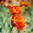 Tulip flowers in the garden: spring time — Stock Photo