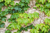Old wall with ivy plant — Stock Photo