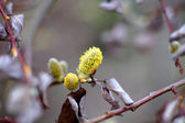 Spring time: pussy willow flowers on the branch — Stock Photo
