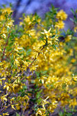 A close-up of a yellow forsythia flower — Foto Stock