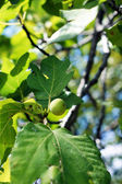 Closeup of fig fruit on the tree — Stock Photo