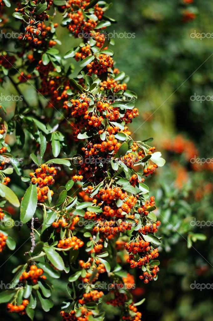 Vicino di bacche arancioni e foglie verdi di un cespuglio for Agrifoglio immagini
