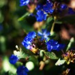 Blue garden flowers in the city park — Stock Photo