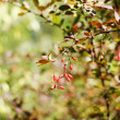 Autumn time: Berberis plant with fruits — Stock Photo