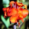 Brightly colored scarlet canna lily flowers surrounded by lush f - Stock Photo
