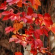 Autumn time: red grape leaves on the old wall - Stock Photo