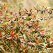 Closeup of autumn fruits of Barberry — Lizenzfreies Foto