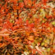 Closeup of autumn fruits of Barberry — Foto Stock