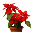 Beautiful poinsettia with red flowers in flowerpot — Stock Photo
