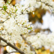 Stock Photo: Cherry tree blooming
