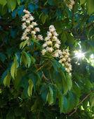 Chesnut tree — Stock Photo