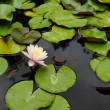 Water lily flower — Stock Photo #28729219