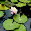 Water lily flower — Stock Photo #28729247