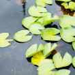 Stock Photo: Water lily flower