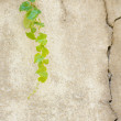 Old wall with ivy plant — Stockfoto #29631983