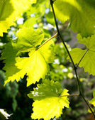 Grape leaves — Stockfoto