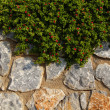 Stone wall with ivy plant — Stock Photo #30757269
