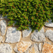 Stone wall with ivy plant — Photo