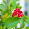 Hibiscus flower in the garden — Stock Photo