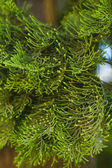 Young branch in spring from European Larch — Stock Photo