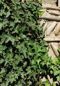 Hiedra y antigua muralla — Foto de Stock