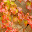 Stock Photo: Closeup of wild grape in garden