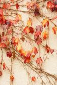 Otoño: uva silvestre en el jardín — Foto de Stock