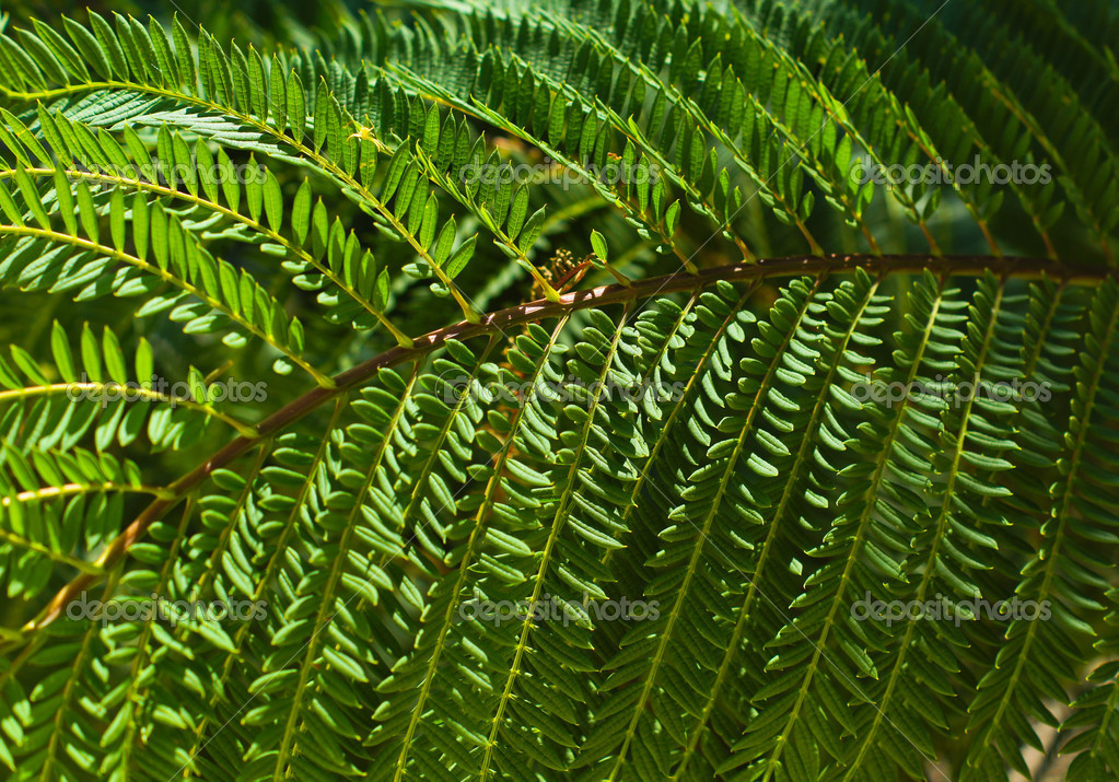 Mimosa tree leaves