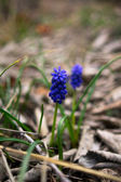 Grape Hyacinth  — Stock Photo