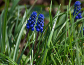 Grape Hyacinth  — Stock Photo