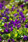 Viola odorata flowers — Stock Photo