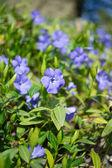 Vinca flowers — Stock Photo