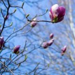 Magnolia tree blooming — Stock Photo