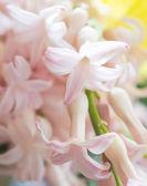 Fleurs de Jacinthe — Photo