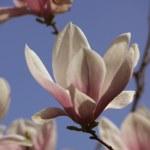 Magnolia tree blooming — Stock Photo #43979313