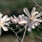 Magnolia tree blooming — Stock Photo #44094107