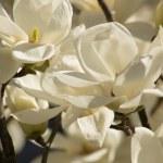 Magnolia tree blooming — Stock Photo #44094219