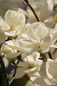 Magnolia tree blooming — Stockfoto