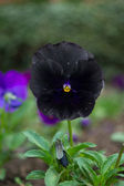 Rare black pansy — Stock Photo