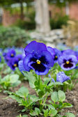 Blue tricolor viola — Stock Photo