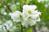 Spring time garden blooming of Jasmine plant — Stock Photo
