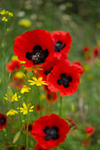 Red poppy flowers in the field — Stock Photo