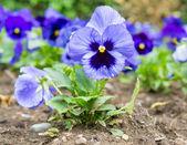 Blue tricolor viola — Stock Photo