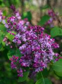 Lilac flowersCloseup of lilac flowers on the bush in the spring  — Stock Photo