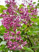 сирень flowerscloseup из цветков сирени на кусте весной — Стоковое фото